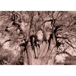 Baobab Oil tree